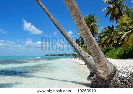 Sandy Caribbean Beach With Coconut Palm Trees, Clear Water And Blue Sky