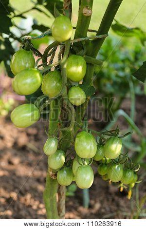 Closeup of unripe Plum tomatoes on the vine in Europe
