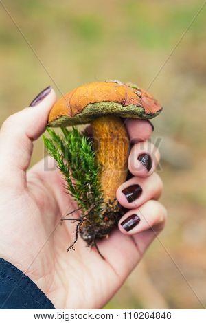 Edible Boletus Mushroom In Female Hand