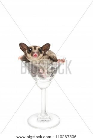 Young Sugar Glider In Cocktail Glass