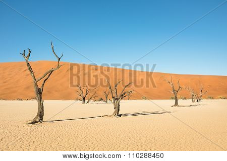 Dry Trees In Desert Crater Area At Deadvlei In Sossusvlei Territory - Namibian World Famous Desert