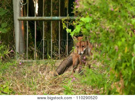 Photo Of Fox In Summer, Hunting For A Mole.horizontal.