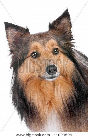 Portrait Of A Sheltie Dog