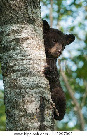 Black Bear Cub (ursus Americanus) Clings To Side Of Tree