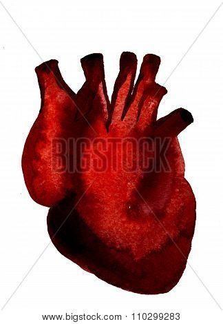 Aquarelle Human Red-blood Heart