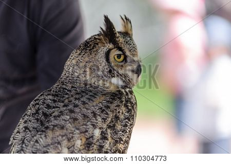 Great Horned Owl in the wild