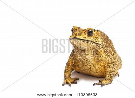 Toad Isolated