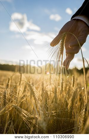 Male Hand In Elegant Business Suit Touching A Golden Ear Of Wheat