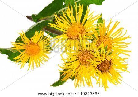 Medicinal plant. Elecampane (Inula helenium)