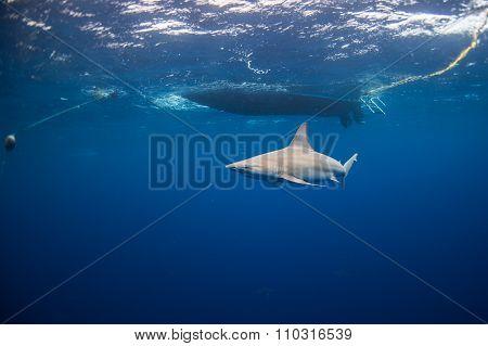 Shark under boat