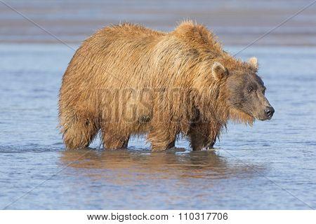 Grizzly Looking For Salmon In Estuary