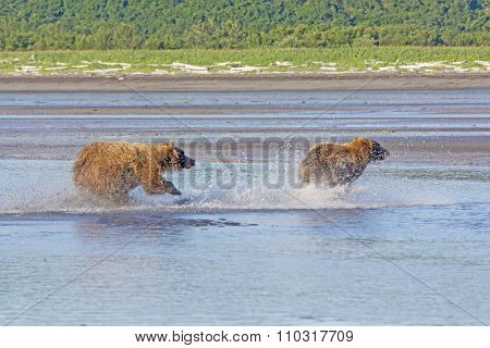 Grizzly Chasing Off A Competitor