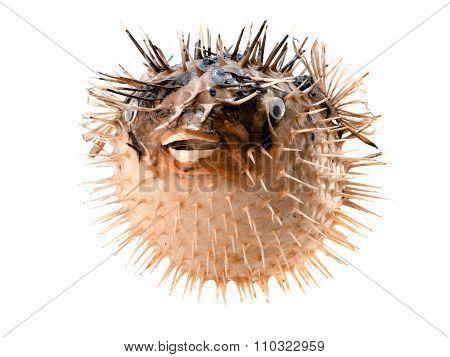 Orange Fish-hedgehog Isolated On White