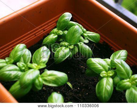 Basil growing in a garden pot