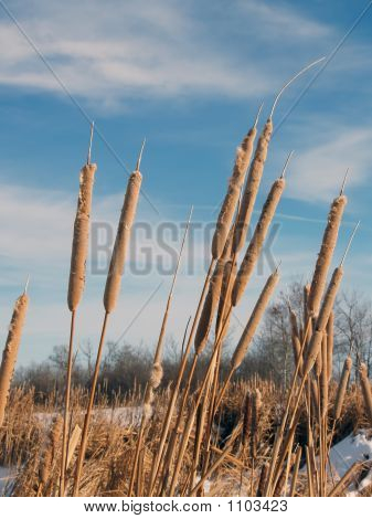 Wintering Cattails