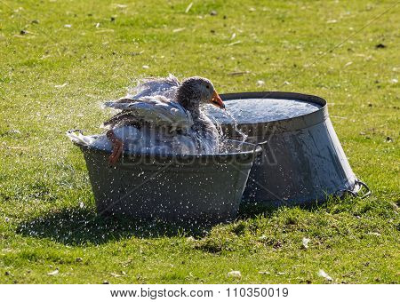 Domestic Goose In A Basin Of Water On  Farmyard