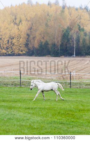 White Finnhorse Colt
