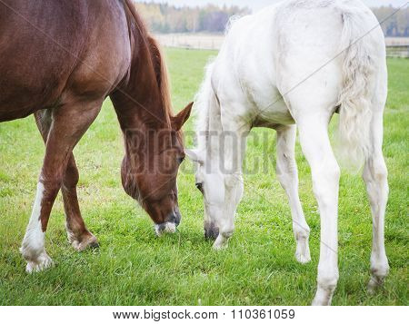 White Finnhorse Colt with the Mare