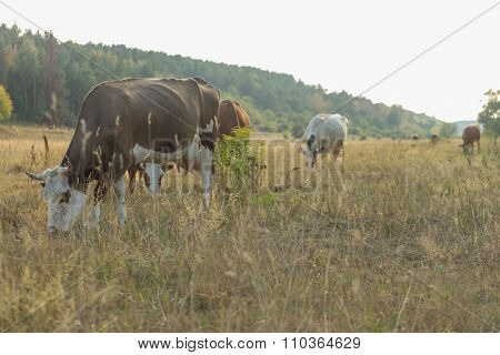 Livestock in the pasture. Photo of cows in the field.