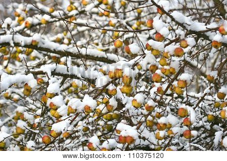 Apple Tree Under The Snow