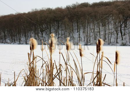 Winter lake with bulrush