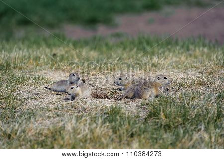 Prairie Dogs Family In The Fields