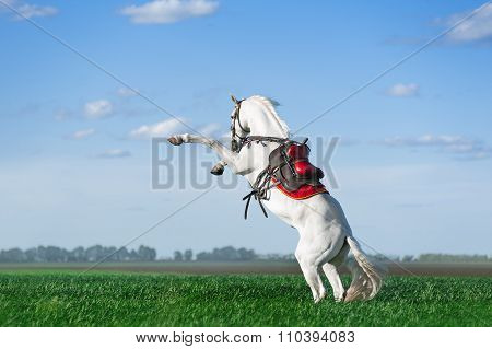 Strong white stallion stands on its hind legs in a green field against the blue sky.