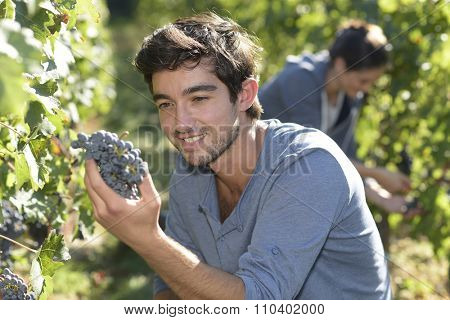 Closeup of harvester holding bunch of grape
