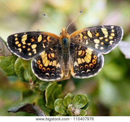 Field Crescent (Phyciodes pulchella) butterfly