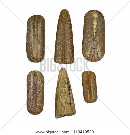 Six different fossilized belemnite rostrums