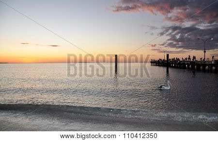 Indian Ocean at Sunset: Australian Pelican