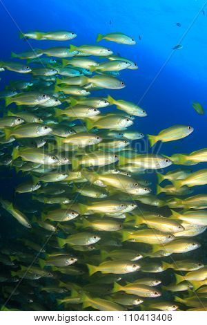 School of Bigeye Snapper fish on an underwater coral ref in ocean