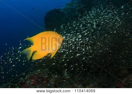 Yellow Damselfish underwater