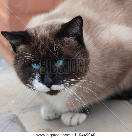Silly Looking Cross-eyed Siamese Cat