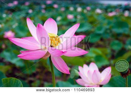 Nelumbo. Lotus orehonosny.