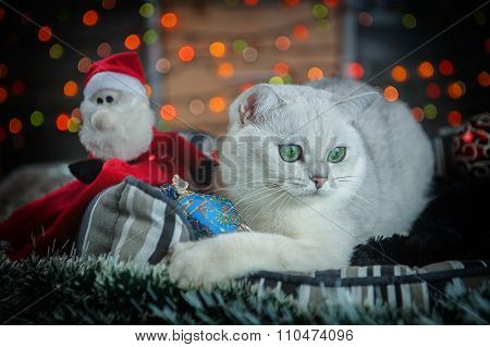 Beautiful Christmas British Cat   With Decoration