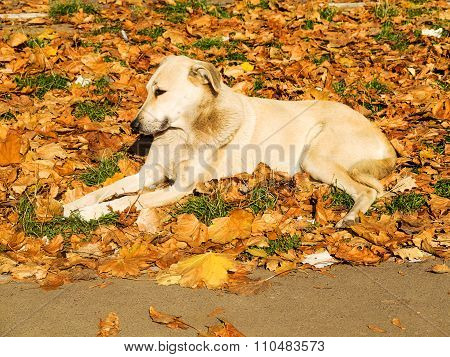 Stray Dog ??lying In Yellow Fallen Leaves, Autumn Park Sunny Day