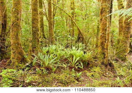 Lush Green Nz Fern Tree Rainforest Wilderness
