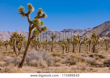 Joshua Trees Yucca Brevifolia Np Ca Us