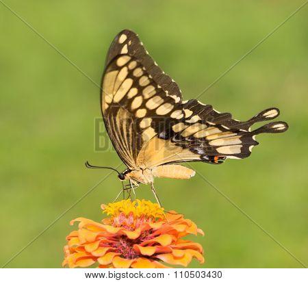 Giant Swallowtail butterfly feeding on an orange Zinnia flower