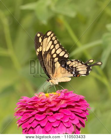 Colorful Giant Swallowtail on a dark pink Zinnia flower