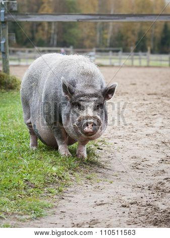 Vietnamese Pot-Bellied Pig