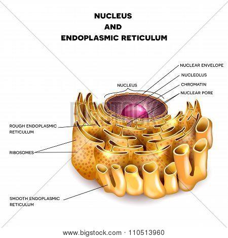 Cell Nucleus And Endoplasmic Reticulum