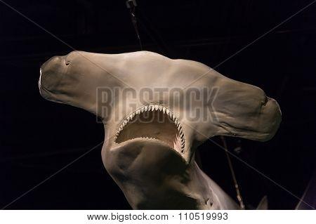 Skull Of Hammerhead Shark