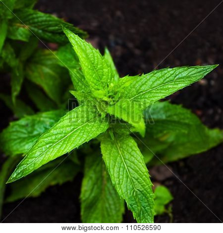Horse mint mentha longifolia plant closeup square springtime