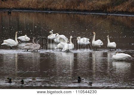 Trumpeter Swans - Cygnus buccinator