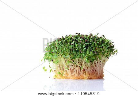Sprouted Alfalfa Seeds