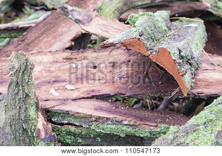 Old Ragged Bark, Moss-covered