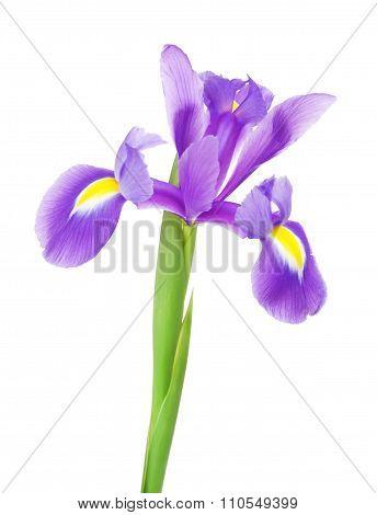 Violet Iris Flower
