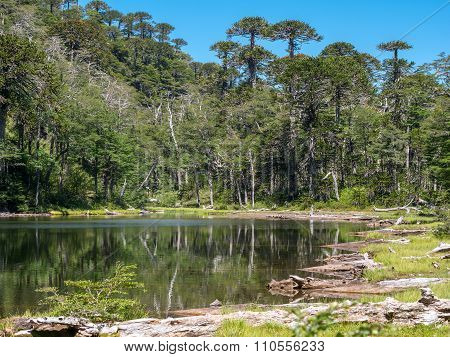 Pehuen trees near Pucon